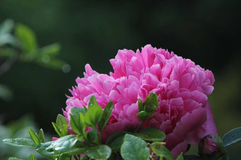 Endless-Spring-Pink-Bloom